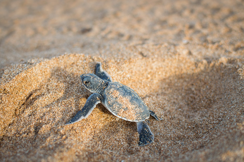 Lamu Tamu turtle